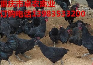 江津哪里有黑鸡苗批发 江津黑鸡苗最近报价如何