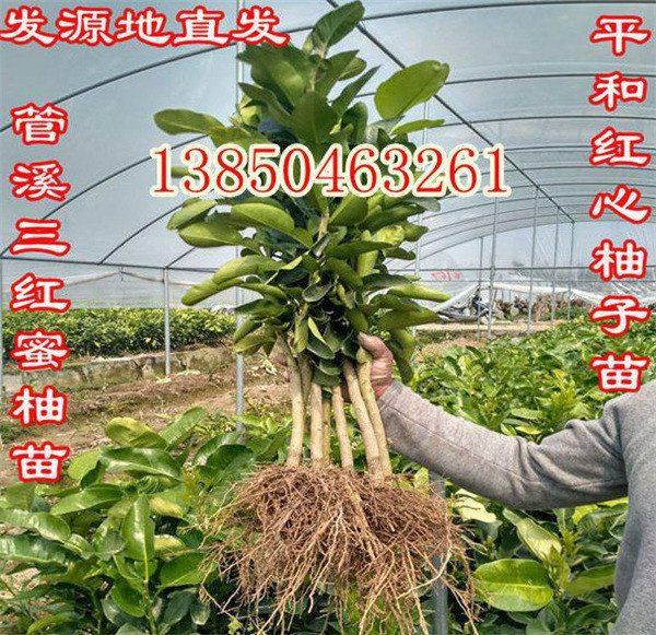 红皮柚子树苗种植