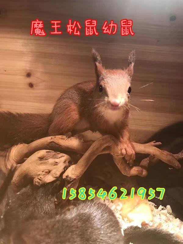 雪地松鼠幼崽武威雪地松鼠哪里有卖雪地松鼠养殖场