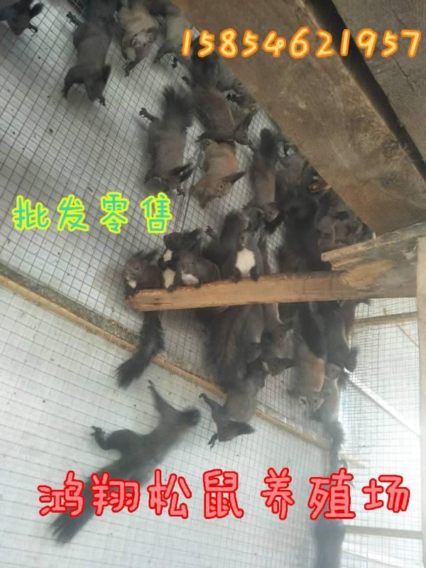 雪地松鼠有数多济宁哪里有卖雪地松鼠的雪地松鼠养殖场