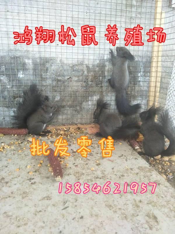 最贵的雪地松鼠伊春在哪里能买到雪地松鼠雪地松鼠养殖场