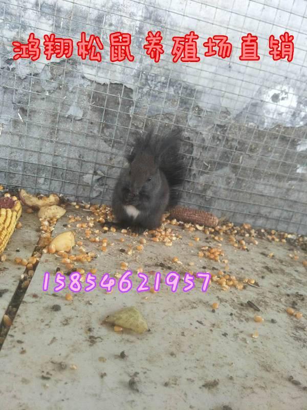 雪地松鼠有数多邢台雪地松鼠哪里能买到雪地松鼠养殖场