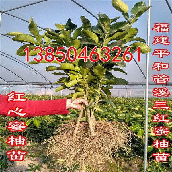 三红蜜柚苗种植