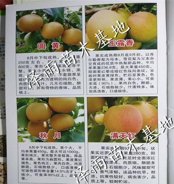 喜水梨树苗喜水便宜价格