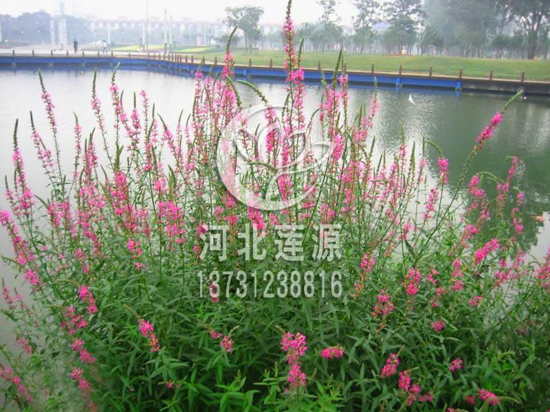 供应千屈菜种苗,白洋淀水生植物种植基地