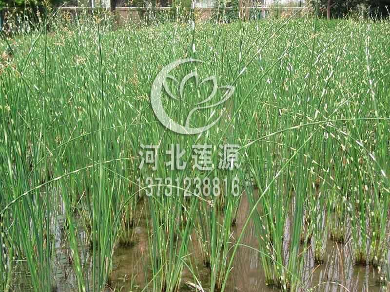 供应水葱,水生植物种苗,白洋淀水生植物基地