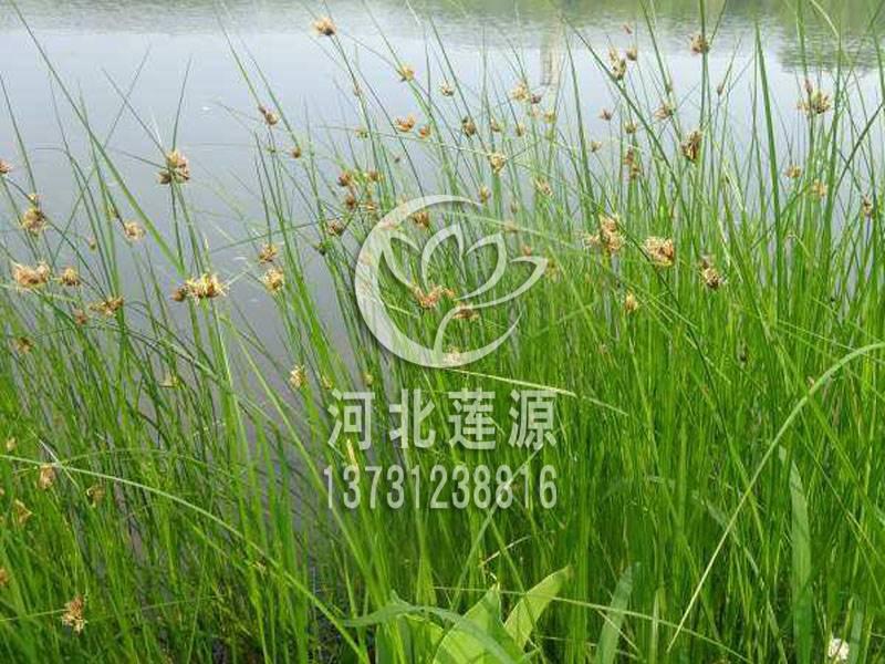 供应藨草,水生植物种苗,白洋淀水生植物