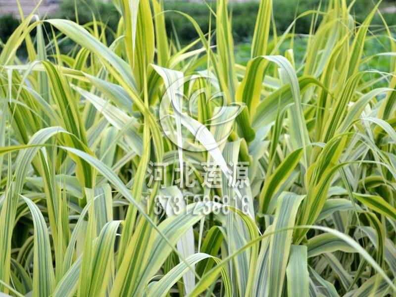 供应花叶芦竹,水生植物种苗,花叶芦竹种植,白洋淀水生植物