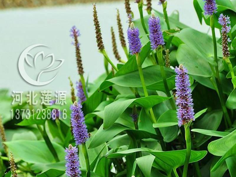 供应梭鱼草,水生植物种苗,白洋淀水生植物,梭鱼草种植