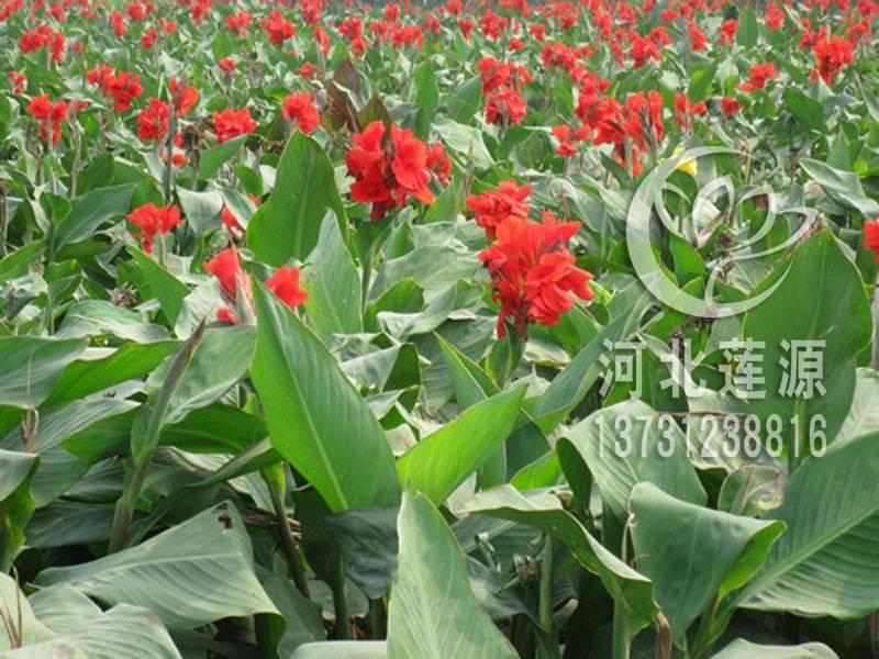供应水生美人蕉,水生植物种苗,白洋淀水生植物,美人蕉种植