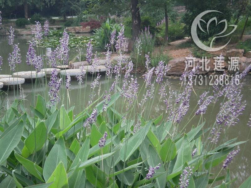 供应再力花,再力花苗,水生植物种苗,白洋淀水生植物