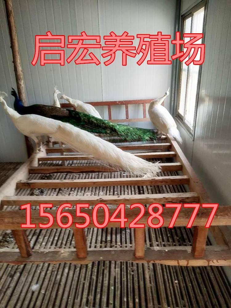 特种珍禽养殖 观赏蓝孔雀多少钱一只 出售食用孔雀价格是多少