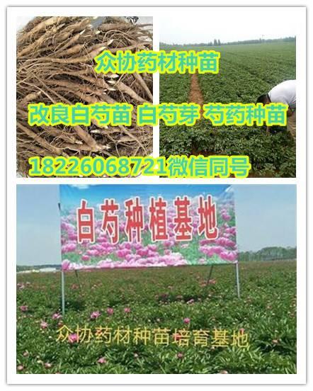 中药材改良白芍苗市场行情 基地供销