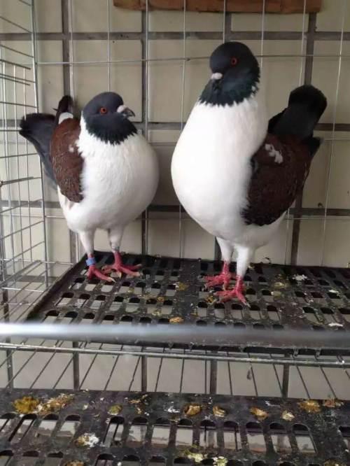 观赏鸽价格观赏鸽养殖场