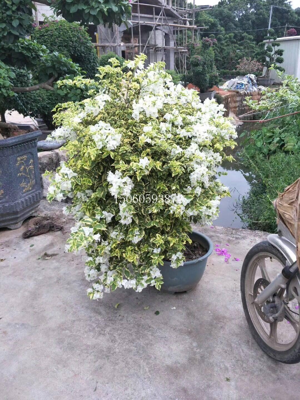 福建漳州三角梅供应商 白色三角梅批发