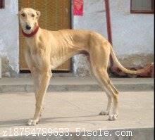 格力犬的饲养方法奔跑速度