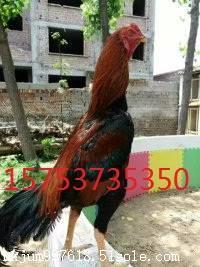 泰国斗鸡一只卖多少钱