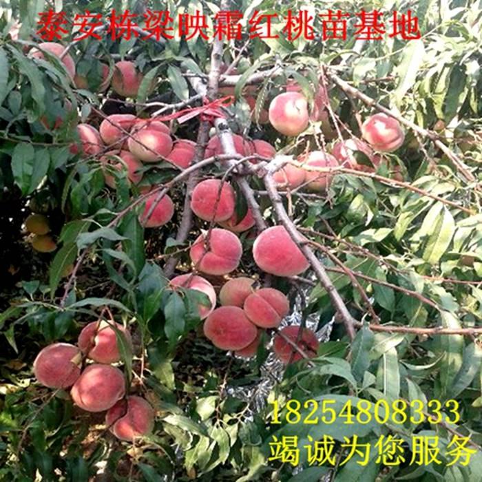 市场畅销桃品种沙子早生桃树苗