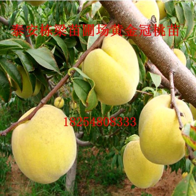 黄油蟠桃新品种风味皇后桃树苗批发