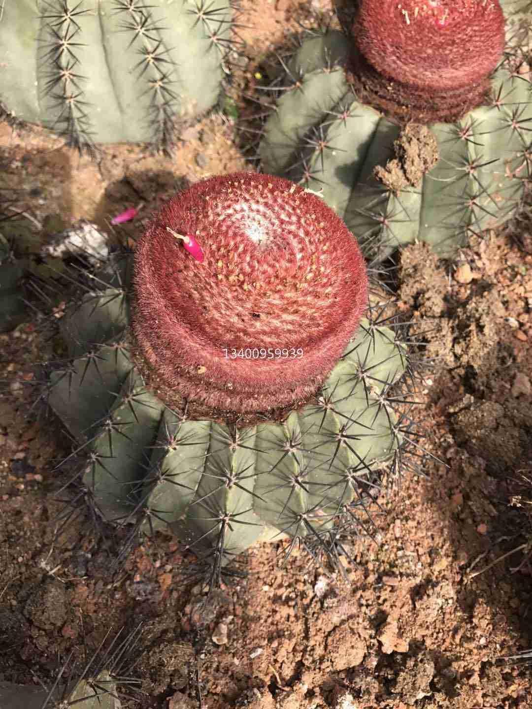 浙江出售优质彩云球,浙江碧云大型种植场,浙江碧云园林添景植物