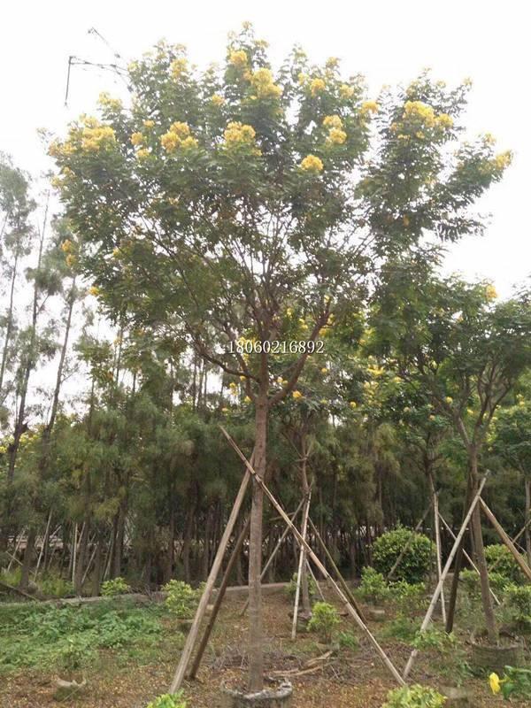 黄花槐现货供应,黄花槐嫁接树,精品黄花槐