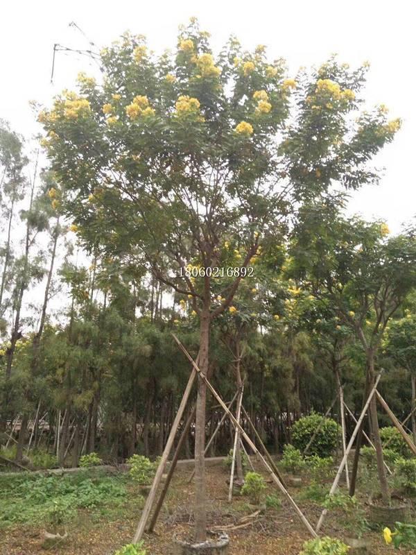 黄花槐树型美观,黄花槐8公分,黄花槐地栽