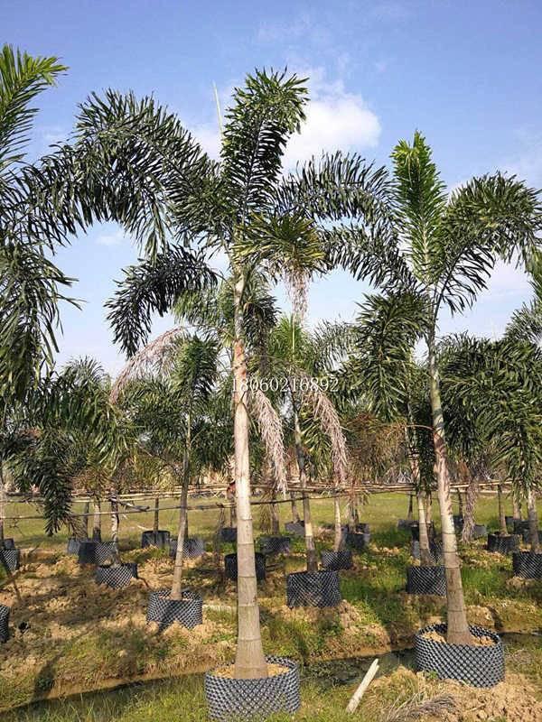 分枝多狐尾椰子,狐尾椰子行道树,大量出售狐尾椰子
