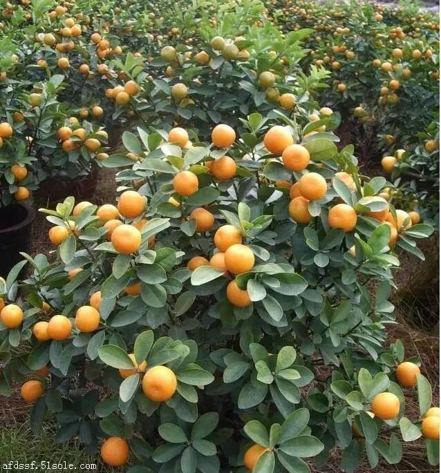枸橘苗种植基地