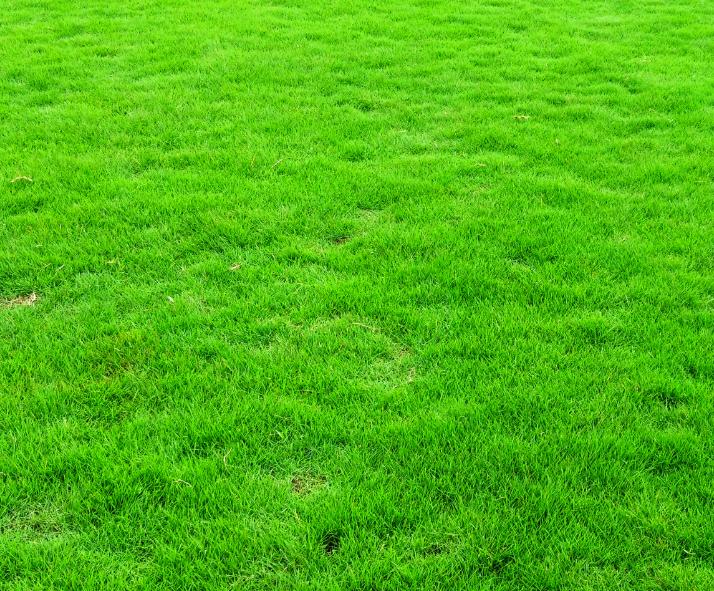 金城江马尼拉草河池马尼拉草