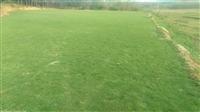 小区绿化草坪足球场草坪