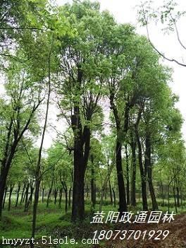 批发移栽骨架香樟树,益阳政通园林供货
