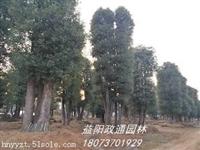 批发湖南丛生多杆香樟树,益阳政通园林供货