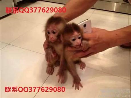 本溪宠物猴哪里有猴子卖