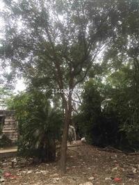 安徽黄花风铃木出圃应用于园林、庭院等绿化,优秀的园林绿化树种