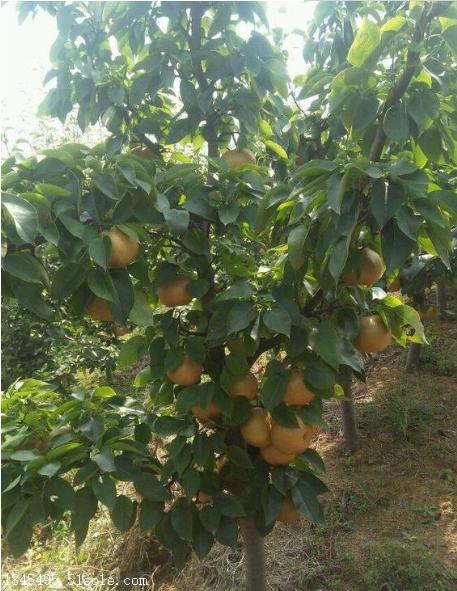 梨树苗基地新品种介绍