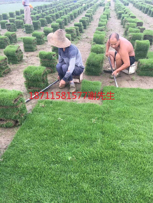 马尼拉草坪苗木基地