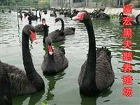 什么地方有出售种黑天鹅的黑天鹅怎么养殖