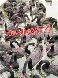 什么地方有出售黑天鹅的在哪里有卖黑天鹅的