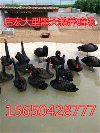 什么地方有卖黑天鹅的成年黑天鹅活体出售