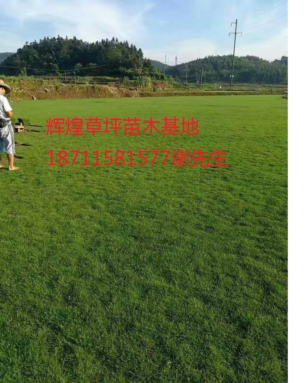 大量供应马尼拉草坪苗木基地