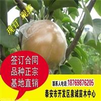 梨树苗价格 1公分梨苗