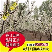 秋月梨树苗价格 多少钱一棵