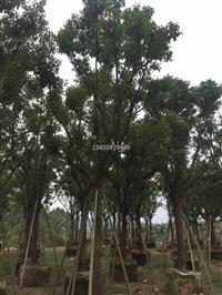 四川香樟抗风强,四川香樟规格10公?#37073;?#36739;能适应城市环境的风景树