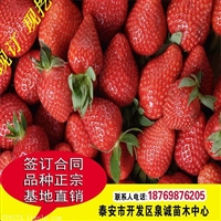 大棚草莓苗基地