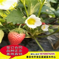 山东泰安奶油草莓苗种植技术