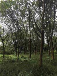 浙江黄葛树价格量大从优,浙江大叶榕供应商,浙江易栽植的大叶榕