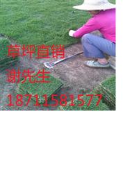 云南马尼拉草坪基地
