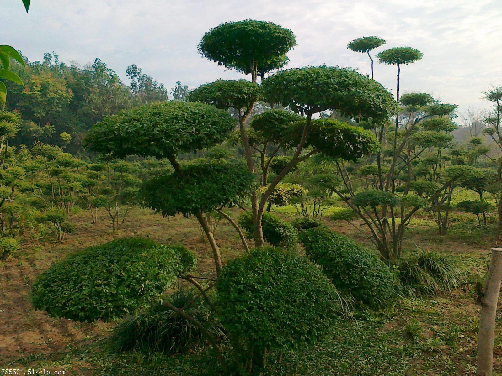 金叶女贞造型树图片