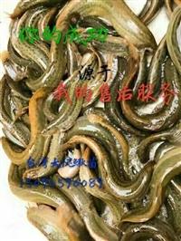 河南泥鳅养殖技术江苏养殖模式送苗上门免费技术指导