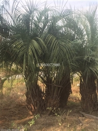 福建泉州布迪椰子基地,福建泉州移植布迪椰子报价